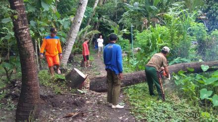 Pemotongan pohon tumbang di Jamprit